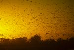 Northern pintail ducks at sunset