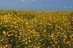 Bur marigolds in Paynes Prairie State Park