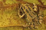 Andean Marsupial tree frog