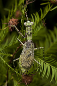 Grizzled mantid