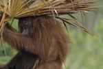 Bornean orangutan with palm frond