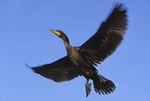 Double crested cormorant flying