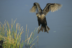 Double crested cormorant, 5 of 7