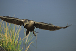 Double crested cormorant, 6 of 7