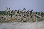 Black skimmers, willets