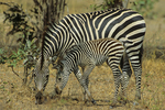 Selou's zebra with colt