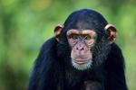Chimpanzee, male, juvenile.