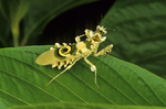 Eyed flower mantid