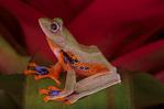 Java flying frog