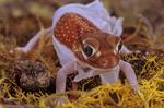 Pilbara smooth knob tailed gecko