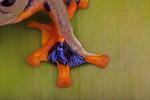 Javan flying frog