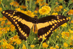 Thoas swallowtail butterfly