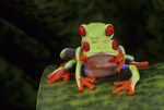 Red eyed tree frogs