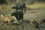 Cape buffalo attacking african lions. (Frame 4 of 5)