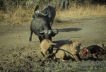 Cape buffalo attacking african lions. (Frame 2 of 5)
