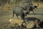 Cape buffalo attacking african lions. (Frame 1 of 5)