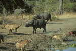 Cape buffalo attacking african lions. (Frame 5 of 5)