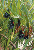 Atala butterfly drying their wings after emerging from chrysalises