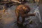 Bornean orangutan playing in water