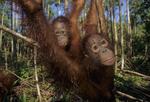 Junenile bornean orangutans