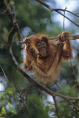 Juvenile sumatran orangutan