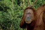 Adult female sumatran orangutan