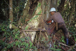 Logger cutting down a rainforest tree