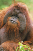 Adult male bornean orangutan