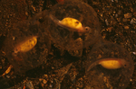 Hellbender salamander larvae in egg case