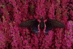 Scarlet mormon butterfly on heather