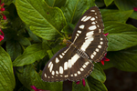 Common sergrant butterfly