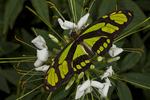 Green longwing butterfly