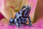 Blue and black poison frog