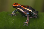 Pleasing poison frog