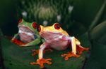 Red eyed tree frogs (Polymorphism)