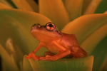 Golden sedge frog