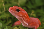Fat-tailed gecko