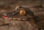 Giant leaftail gecko