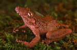 Fringe-lipped Tree frog