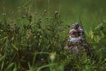 Burrowing owl calling