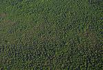 Dwarf red mangroves