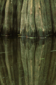 Reflection of a bald cypress tree buttress in the Loxahatchee River.