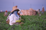 Female migrant farm worker picking green beans.
