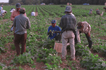 Migrant farm workers pick green beans while another person is paid his daily wage.
