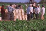 Migrant farm workers stack crates filled with green beans in an agricultural field.