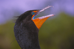 Head of a double crested cormorant