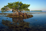 Red mangrove, Gaskin Bay