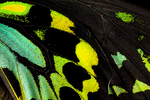 Wing detail, Common birdwing butterfly