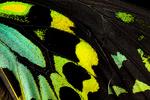 Wing detail, Common birdwing butterfly