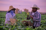 Man and woman picking green beans in an an agricultural field outside Everglades National Park